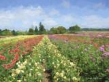 Dahlia Field