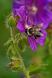BEE-ON-PERENNIAL-GERANIUM_3360.jpg