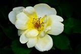 YELLOW KNOCKOUT ROSE_6904.jpg