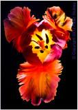 Fire tulip.