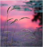 Sunset grass.
