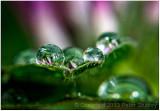 Clover dew.