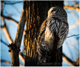 Barred owl (second pose).