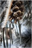 Hoar frost pine cone.