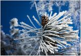 Hoary pine.