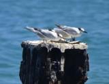 Sandwhich Terns
