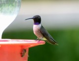 Black-chinned Hummingbird, Male