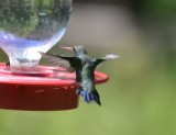 Broad-billed Hummingbird Male