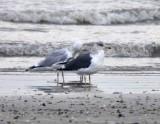 Lesser Black-backed Gull, Adult