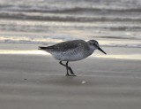 Red Knot, Basic Plumage