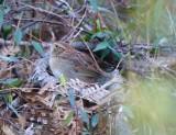Western Bachman's Sparrow