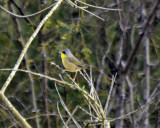 Gray-crowned Yellowthroat (4)
