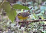 Golden-crowned Warbler (4)