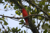 Summer Tanager, Male