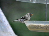 Southern Common Redpoll, Female