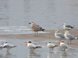 Great Black-backed Gull, 1st Cycle