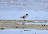 Semipalmated Plover, Alternate Plumage