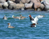 Redheads with American Wigeon