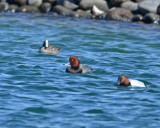 Redhead, Drake with an American Wigeon, Drake and Canvasback, Drake