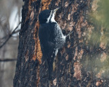 Black-backed Woodpecker, Female