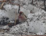 Common Redpoll, Male