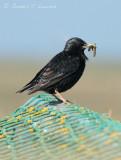 Hebridean Starling