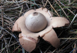 *NEW* Collared Earthstar