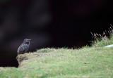 Shetland Starling