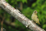 Grey-capped greenfinch