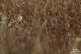 Whinchat*