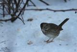 Lincon's sparrow*