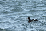 American White-winged scoter*