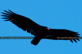 2014 - Turkey Vulture (Buzzard) soaring over Miami Lakes bird stock photo #3662