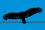 2014 - Turkey Vulture (Buzzard) soaring over Miami Lakes bird stock photo #3664