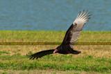 2014 - Turkey Vulture (Buzzard) at the infield of Hialeah Park bird stock photo #6876