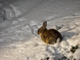 1532: Rabbit in the snow