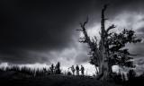 Great Basin Bristlecone Pine At Spectra Point(CedarBreaks_070116_113-1.jpg)