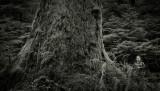 Sitka Spruce & Photographer, Hoh Rainforest(OlympicPeninsula_041116_128-1.jpg)