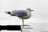 Ring Billed Gull In The Fog