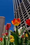 Towering Tulips