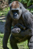 Bronx Zoo Gorilla Baby