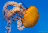 Pacific Sea Nettle 75139