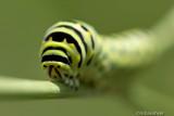 Eastern Black Swallowtail Caterpillar 75617