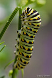 Eastern Black Swallowtail Caterpillar 77878