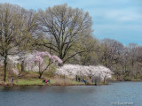 Cherry Blossoms of Branch Brook Park, NJ