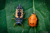 Harlequin ladybird larva and pupa