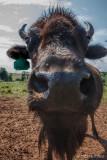 Bison Up-Close 113081