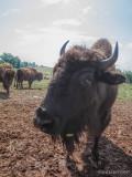 Bison Up-Close 113090