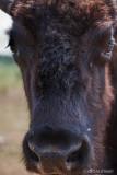 Bison Up-Close 113153