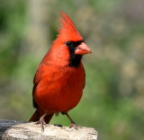 Cardinal in the morning light
